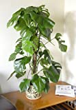 Indoor Plant -House or Office Plant -Monstera deliciosa - Swiss Cheese Plant 1.5m