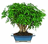 Brussel's Hawaiian Umbrella Tree Bonsai