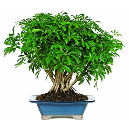Brussel S Hawaiian Umbrella Tree Bonsai Joragenadenap