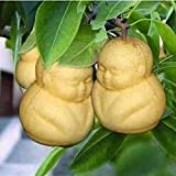 PandaBiu161820pcs Rare Ginseng Fruit Perennial Seeds Pear Tree Sapodilla