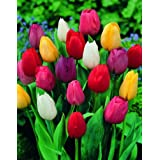 Saavyseeds Mix Perfection Tulip Seeds - 55 Count