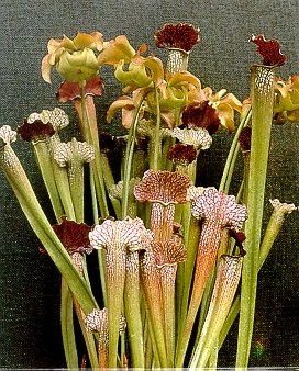 Pitcher Plant Seeds