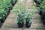 Kirschlorbeer Genolia ® 10 Stück Containerpflanzen 60-80 cm im Sparpack