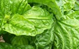 SeeKay ORGANIC Basil Lettuce Leaf - Appx 100 seeds - Herb / Vegetable