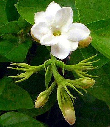Hirt's Arabian Tea Jasmine Plant - Maid of Orleans - FRAGRANT - 4 Pot