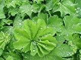 Alchemilla Mollis Plant in a 17cm pot.Cottage Garden perennial. Lady's Mantle
