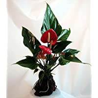 Red Anthurium Hawaiian Volcano Rock Bonsai - Great Living Gift