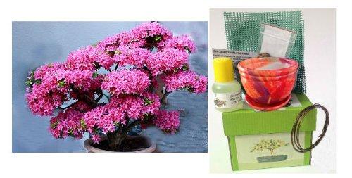 premium-judas-tree-bonsai-kit-in-gift-box-ceramic-pot-seeds-soil-liquid-fertilizer-training-wire-dra