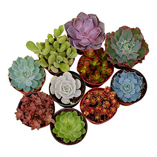 Shop Succulents Assorted Succulent (Collection of 20), 4