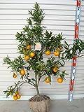 ガーデンストーリー 柑橘 せとか 6年生 接木苗