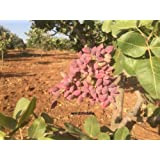 Turkish Antep Pistachios, GENUINE PISTACIA VERA Tree Fresh New Season 25 Seeds