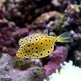 (海水魚 フグ)ミナミハコフグ Mサイズ(1匹) 本州・四国限定[生体]