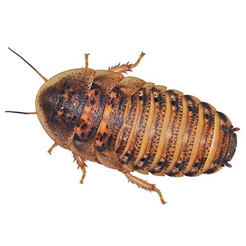 feeder-cockroaches-medium-approx-15