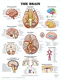 The Brain Anatomical Chart Poster Print - 20x26