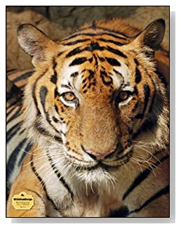 Tiger Face Notebook - The bold look of this tiger makes a dramatic cover for this blank and college ruled notebook with blank pages on the left and lined pages on the right.