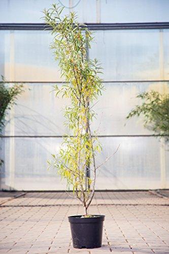 sanddorn-pollmix-1-60-100-cm-wildobst-bestauberpflanze-busch-fur-sonne-halbschatten-beerenobst-winte