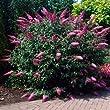 Pink Delight Butterfly Bush - 1 Quart