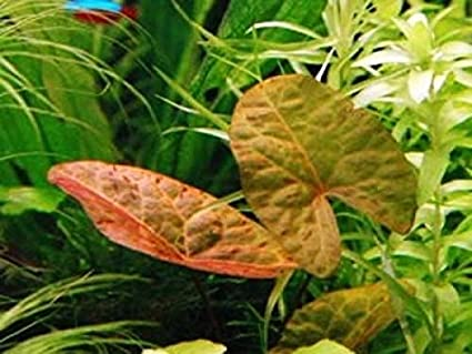 Aquarium Plants Water Lily