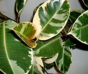 Emeralds TM Variegated Rubber Tree Ficus Elastica Indoor or Outdoor 4 Inch Pot