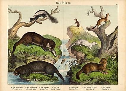 Weasel Ferret Family Antique Print-weasel-ferret
