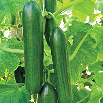 Cucumber parthenocarpic OP, Imported Beit Alpha, 30 seeds by ...