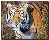 Bengal Tiger Big Cat Wildlife Animal Nature Wall Decor Art Print Poster (16x20)