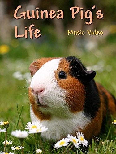 guinea-pigs-life