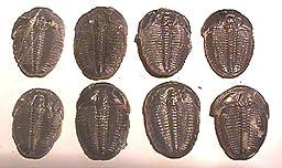Trilobite Elrathia Kingii