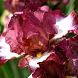 iris bearded Crinoline (3)