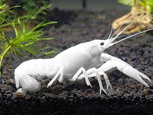 1 live white specter crayfish freshwater lobster 2 inch for Where can i buy fresh fish near me