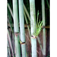 Giant Blue Bamboo - Borinda boliana - Grow Indoors/Out - 4