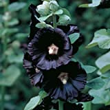 Black Nigra Hollyhock 30 Seeds, 450 mg - Alcea rosea