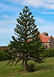 Araucaria araucana (Monkey Puzzle) seeds - LARGE PACKET - 30 seeds