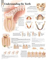 Understanding The Teeth Educational Chart Poster 22 x 28in