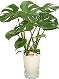 観葉植物 モンステラ6号陶器鉢 -
