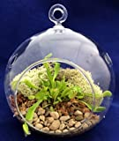 Round Hanging Venus Fly Trap Terrarium Kit - Great Gift! - 5