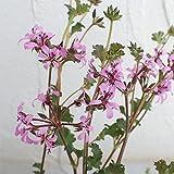 ペラルゴニウム:ラベンダーラス3号ポット 3株セット[繊細な小花を咲かせる可憐なペラルゴ]