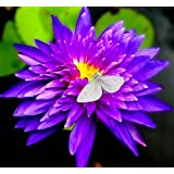 Amazing Live Aquatic Plant Water Lily Tuber For Fresh Water Pond Nymphaea King Blue Tropical W009 by Jayco** Buy 2 GET 1 FREE (Tamaño: 16 x 20 Inch)