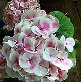 Amazon / Hirt's Gardens: Cityline Mars Hydrangea macrophylla - Long Lasting Blooms - Proven Winners