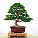 Rare Mini Bonsai Podocarpus Tree Seeds Ornamental Plants DIY Home & Garden 5 Seeds/pack