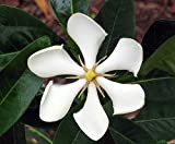 Vietnamese Gardenia Plant - EXTREMELY FRAGRANT - Indoors/Out - 4
