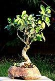 Ficus elastica seeds