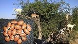 5 große Argania spinosa Samen