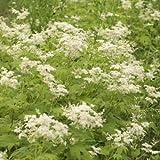 白花キョウカノコ