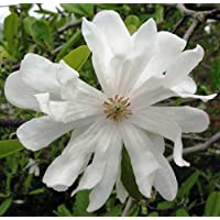 'Waterlily' Star Magnolia stellata - Pure White! - Very Hardy - 4