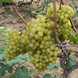 Mixed Grape Fruit Seed Seed Fruit Tree Seedlings Potted Seedlings Kyoho Grape Seed Red Mention Child 20 Particle...