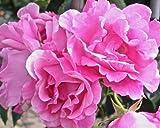 Rosa 'Madame Gregoire Staechelin' (Rose Mdme Gregoire Staechelin) 4.5l or 6l rose pot