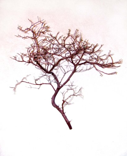Manzanita Branch Centerpieces (Pack of 6)