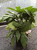 Brugmansia / Angels' Trumpets / Datura Large Plant in a 24cm Pot. 70cm tall[Pale Pink]