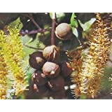 HAWAIIAN MACADAMIA NUT TREE PLANT 2